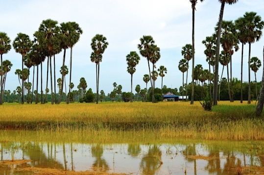 Cambodian Rice Field