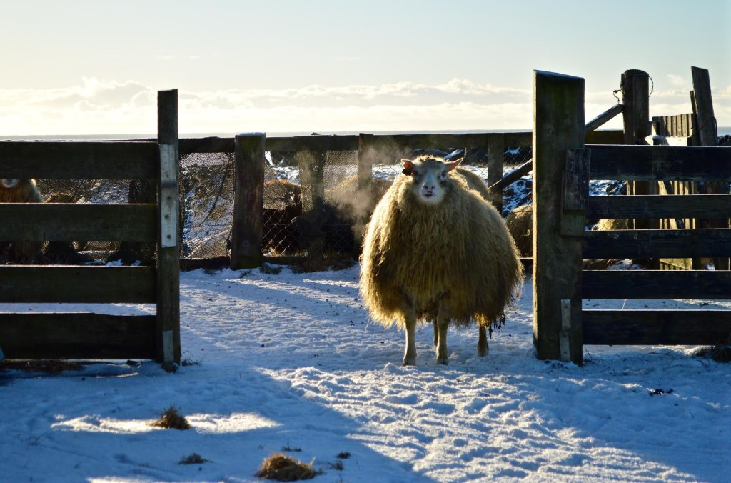 Iceland. Wooly Sheep
